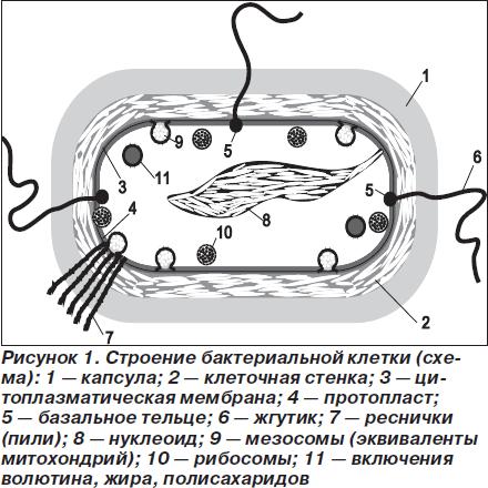 Строение микробной (бактериальной) клетки.