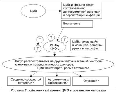 ЦМВ-инфекция локализуется