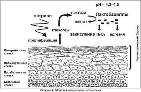 obnovlyaetsya-epiteliy-vlagalisha