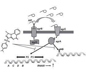 Drugs inhibiting the quorum-sensing of bacteria  Staphylococcus aureus
