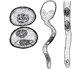 Биофизическая модель  комплексного воздействия  на репродуктивные процессы