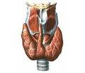 Коррекция функционального состояния печени у пациентов с аутоиммунными заболеваниями щитовидной железы