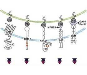 Development of the immune response in pneumonia due to Staphylococcus aureus (part 5)