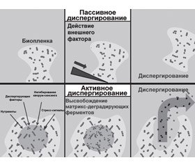 Dispersion of bacterial biofilm and chronization of respiratory tract infection