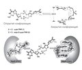 Drug control of biofilm dispersion due to regulation of the activity of bacterial cyclic guanosine monophosphate (part 2)