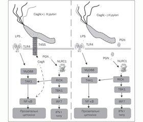 Роль TLR4, NLRC1/NOD1 та NF-κB у розвитку запалення слизової оболонки шлунка при хелікобактерній інфекції у дітей