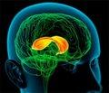 Порушення розвитку мозолястого тіла і його діагностика