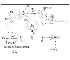 Роль российских ученых в разработке сибиреязвенных вакцин