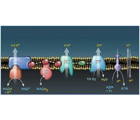 Эндогенные оксиданты и антиоксидантная система человеческого организма