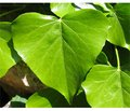 Using Ivy Leaf Extract in Pediatric Practice