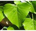Использование экстракта листьев плюща в педиатрической практике