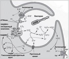 Механизм действия активированных кислородсодержащих метаболитов в респираторном тракте (часть 1)