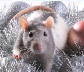Как встретить Новый, 2020 год, чтобы задобрить белую крысу