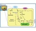 Механизм действия активированных азотсодержащих метаболитов в респираторном тракте. Провоспалительное действие (часть 2)
