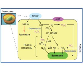 The Mechanism of Action of the Activated Nitrogen-Containing Metabolites in the Respiratory Tract. Proinflammatory Effect (Part 2)
