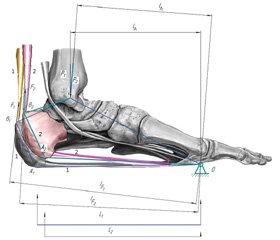 Біомеханічні умови функціонування триголового м'яза при переломі п'яткової кістки.