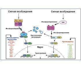 Механизм действия активированных кислородсодержащих метаболитов в респираторном тракте. Провоспалительное действие (часть 2)
