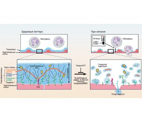 Glycocalyx: a new diagnostic and therapeutic target in sepsis