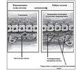 Фиброз печени: современные принципы диагностики