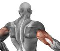 Лечение разрыва дистального сухожилия двуглавой мышцы плеча у спортсменов